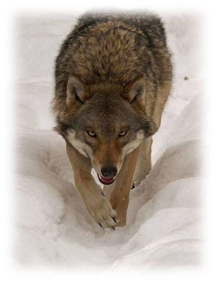 lupo avanza nella neve